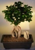 Ginseng Ficus Bonsai Tree.jpg